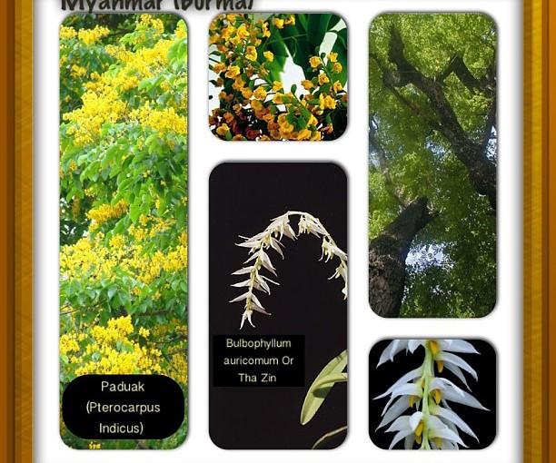 National Flower Series - South East Asia 6- Myanmar